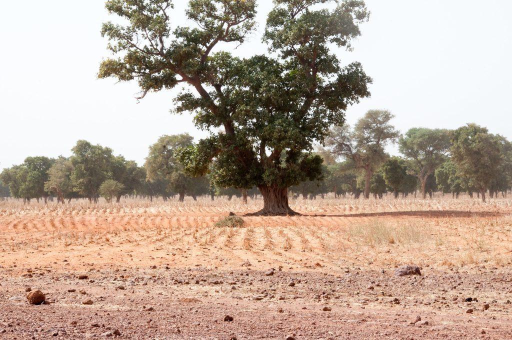 A roadmap to guide regreening in Mali