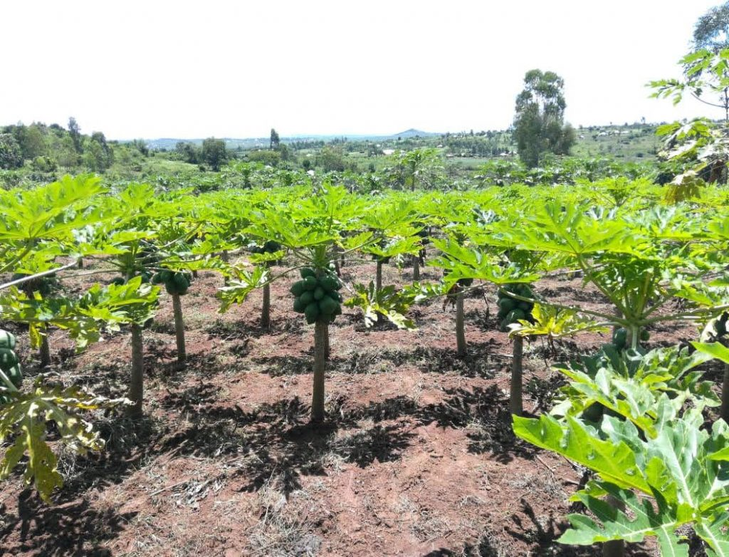 Carica papaya: a tree that keeps on giving